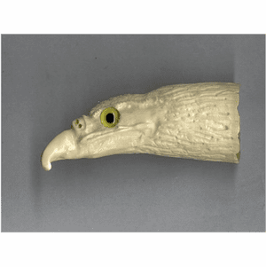 """Hawk's Head""  Scrimshaw Sperm Whale Tooth Gallery"
