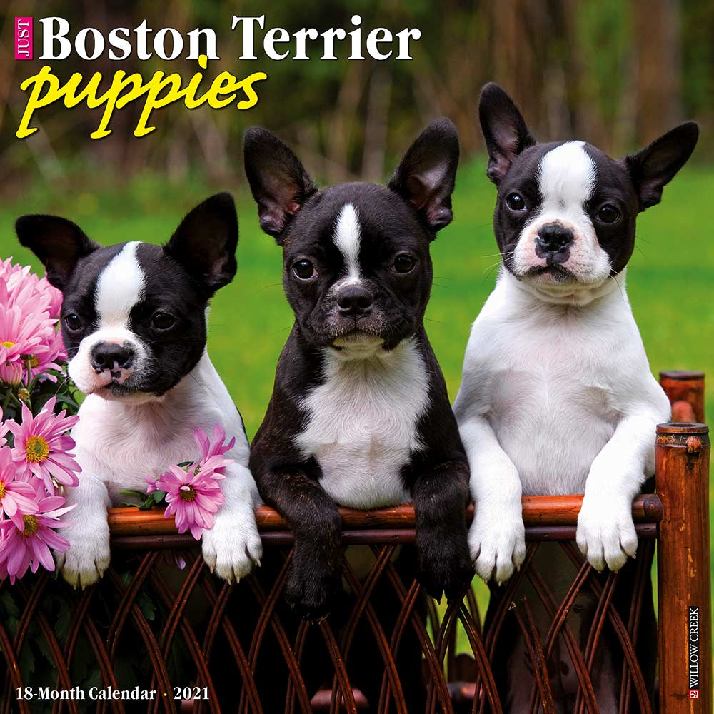 2021 Boston Terrier Puppies Calendar Willow Creek Press