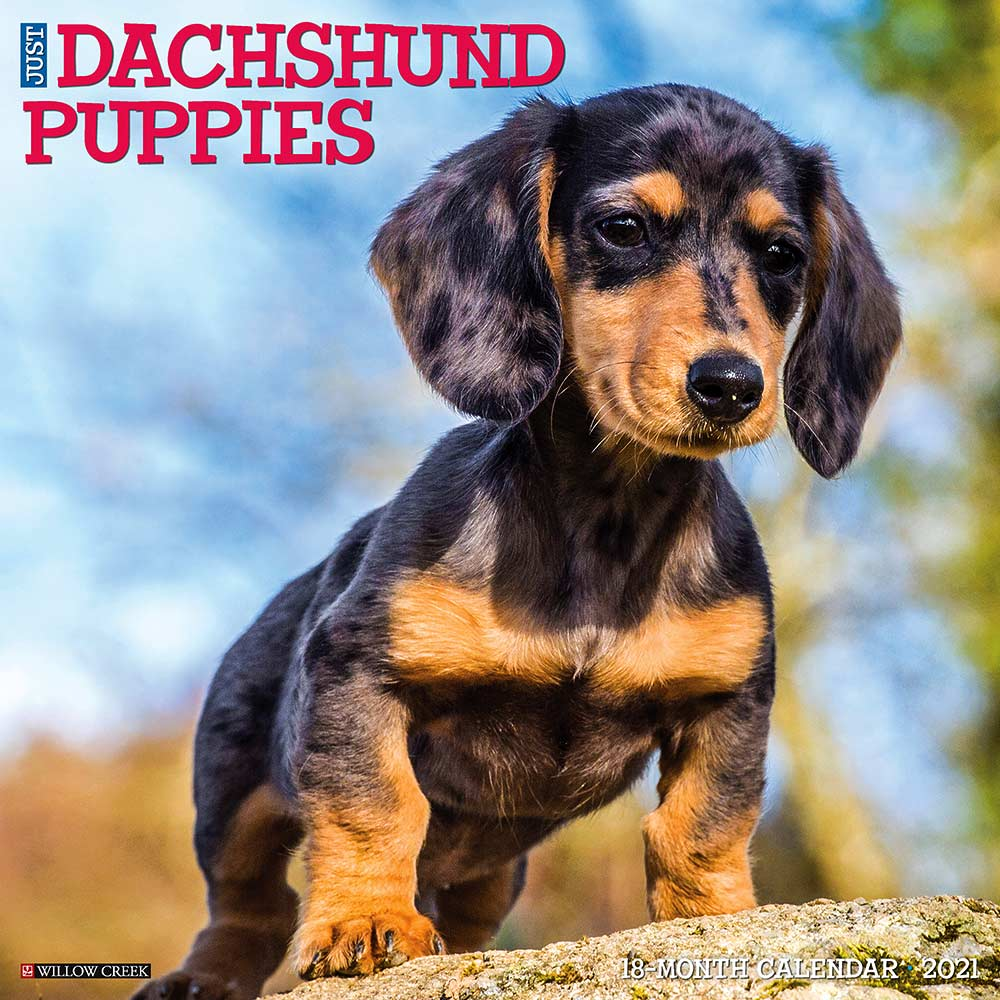 2021 Dachshund Puppies Calendar Willow Creek Press