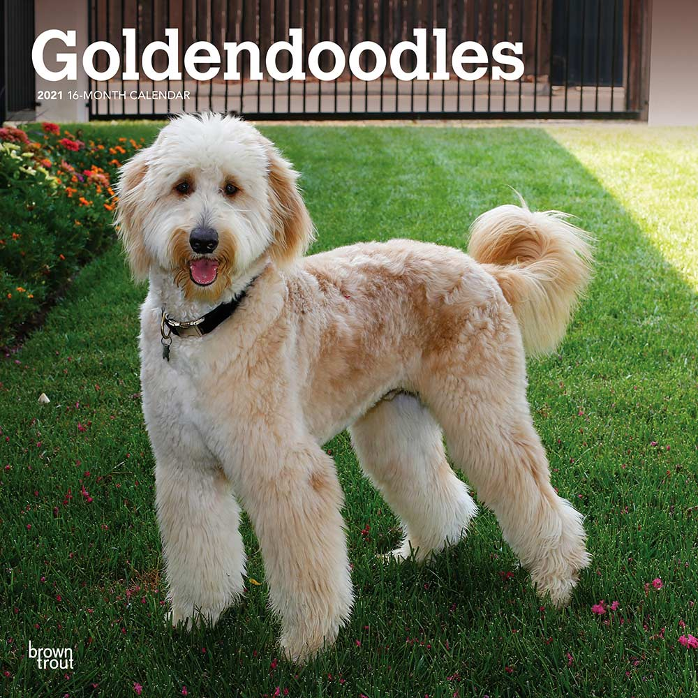 2021 Goldendoodle Calendar Brown Trout