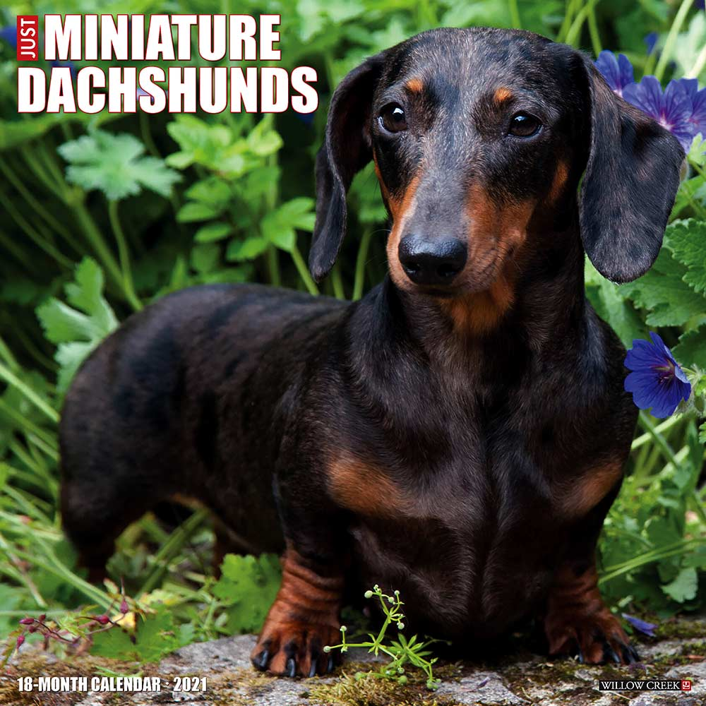 2021 Miniature Dachshunds Calendar Willow Creek