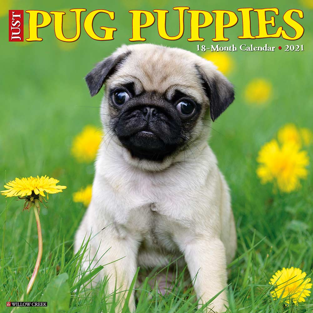 2021 Pug Puppies Calendar Willow Creek Press