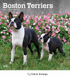 2021 Boston Terriers Calendar