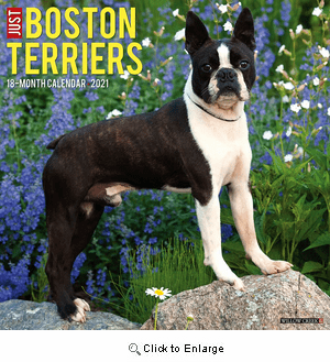 2021 Boston Terriers Calendar Willow Creek Press