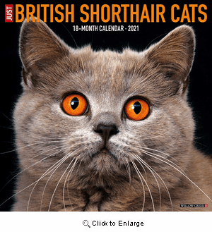 2021 British Shorthair Cats Calendar Willow Creek