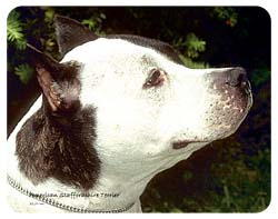 American Staffordshire Terrier Coasters
