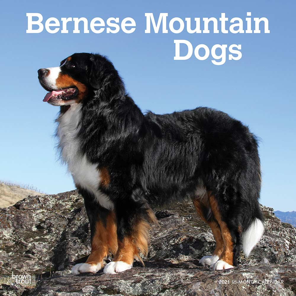 2021 Bernese Mountain Dogs Calendar