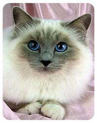 Birman Cat Coasters