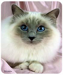 Birman Cat Mousepad