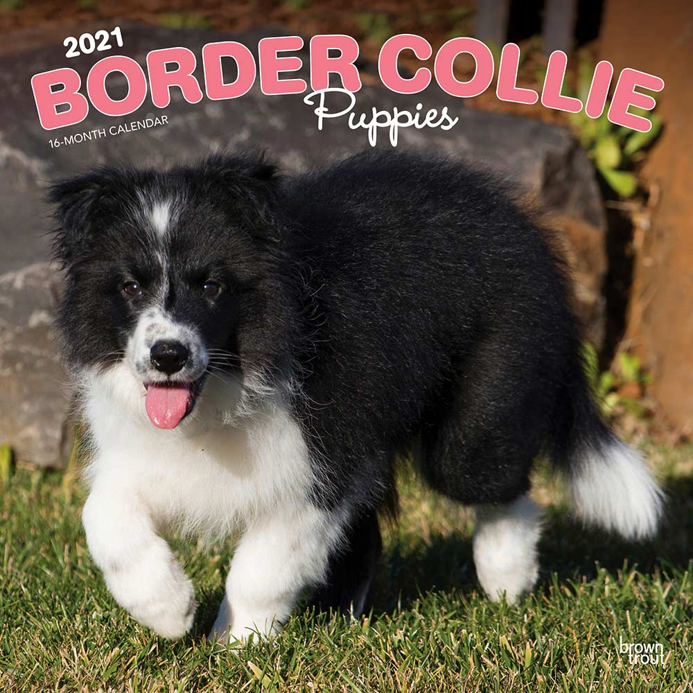 2021 Border Collie Puppies Calendar