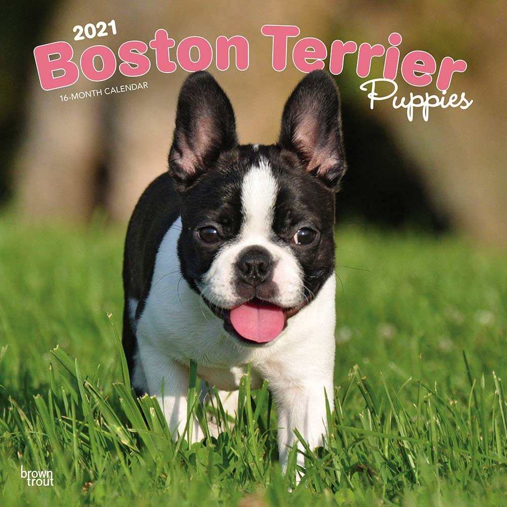 2021 Boston Terrier Puppies Calendar