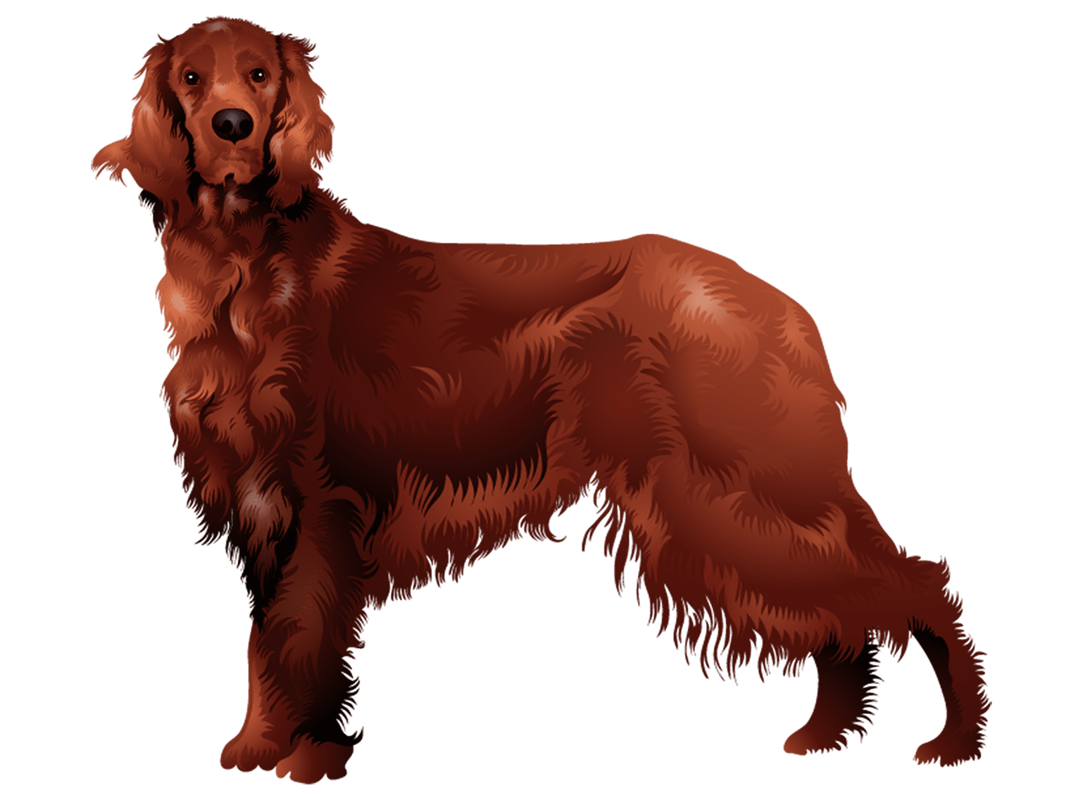Irish Setter T-Shirt - Vibrant Vector