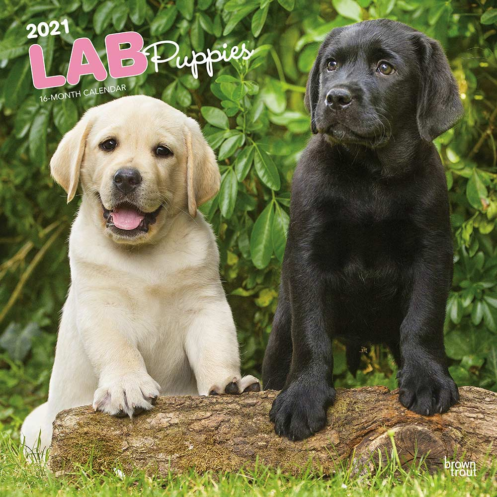 2021 Labrador Retriever Puppies Calendar