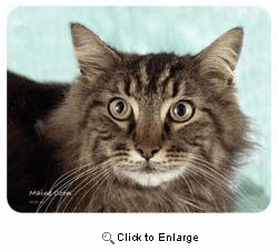 Maine Coon Cat Coasters