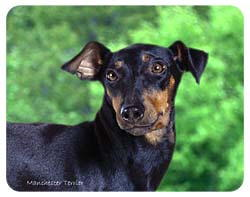 Manchester Terrier Coasters