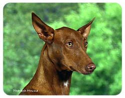 Pharaoh Hound Coasters