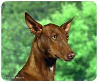 Pharaoh Hound Mousepad