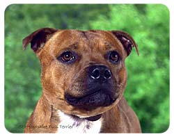 Staffordshire Bull Terrier Coasters