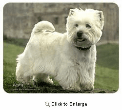 West Highland Terrier Coasters