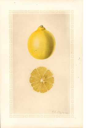 Featured image is reproduced from 'An Illustrated Catalog of American Fruits & Nuts.'