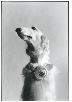 """Featured image, reproduced from <I>Elliott Erwitt: Icons</I>, was taken in New York in 1999. Erwitt writes, """"This is a portrait of a very special dog, a greyhound with a Balenciaga couture flower. The snap was taken here in my studio in New York for a tribute dedicated to the editor in chief of Harper's Bazaar. It had to be an all-white issue, it was actually called the white issue, and all of the photographs had to be white."""