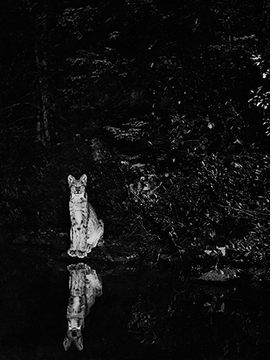 """""""Lynx on the shore of Loon Lake, near Lake Wanapitei, Ontario, Canada, July, 1902"""" is reproduced from <I>George Shiras: In the Heart of the Dark Night</I>."""
