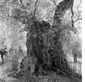Featured image is reproduced from 'Jacques Berthet: Olive Trees'.