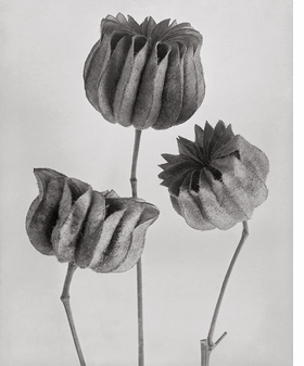 Featured image is reproduced from 'Karl Blossfeldt: Masterworks.'