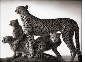 Featured image, of Cheetah and Cubs, is reproduced from <I>Nick Brandt: On This Earth, A Shadow Falls</I>.