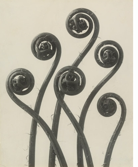 """""""Adiantum pedatum"""" (1898) by Karl Blossfeldt is reproduced from <I>Object:Photo. Modern Photographs 1909-1949</I>."""