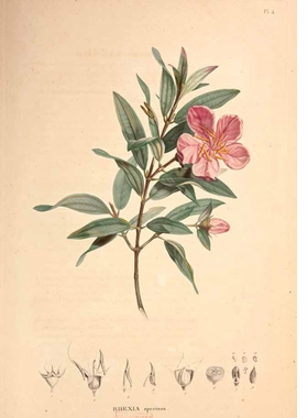 """Featured image, Alexander von Humboldt and Aimé Bonpland's """"Rhexia seciosa"""" from <I>Monographia Melastomacearum</I> (1816–23), is reproduced from <I>Unity of Nature</I>."""