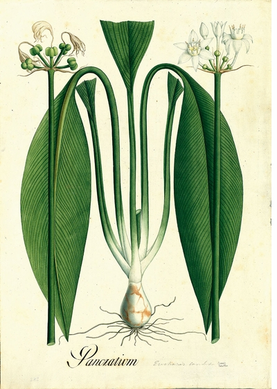 Weird and beautiful 18th-century botanical illustrations from the José Celestino Mutis Expedition