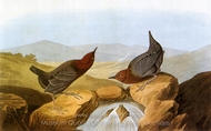 American Dipper painting reproduction, John James Audubon