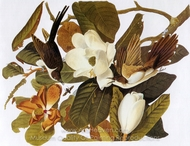 Black-Billed Cuckoo painting reproduction, John James Audubon