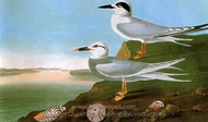 Forsters Tern and Trudeaus Tern painting reproduction, John James Audubon