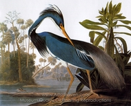 Tricolor Heron painting reproduction, John James Audubon