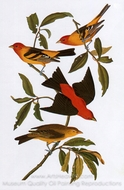 Western Tanager and Scarlet Tanager painting reproduction, John James Audubon