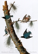 White-Breasted Nuthatch painting reproduction, John James Audubon