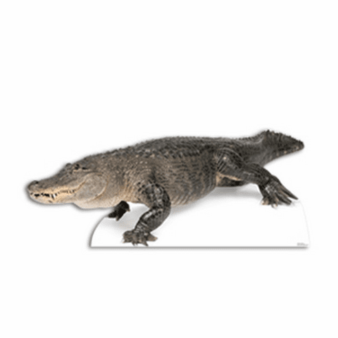 American Alligator Standee