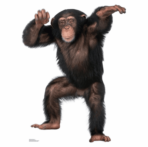 Young Chimpanzee Standee