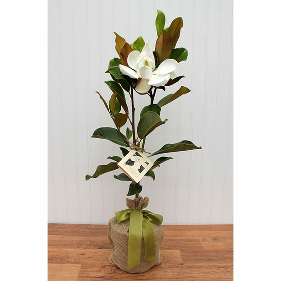 Seeds of Life Southern Magnolia Tree : Living Gift Tree