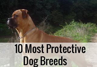 Rawr! The Top 10 Most Protective Dog Breeds (To Keep Your Home Safe)
