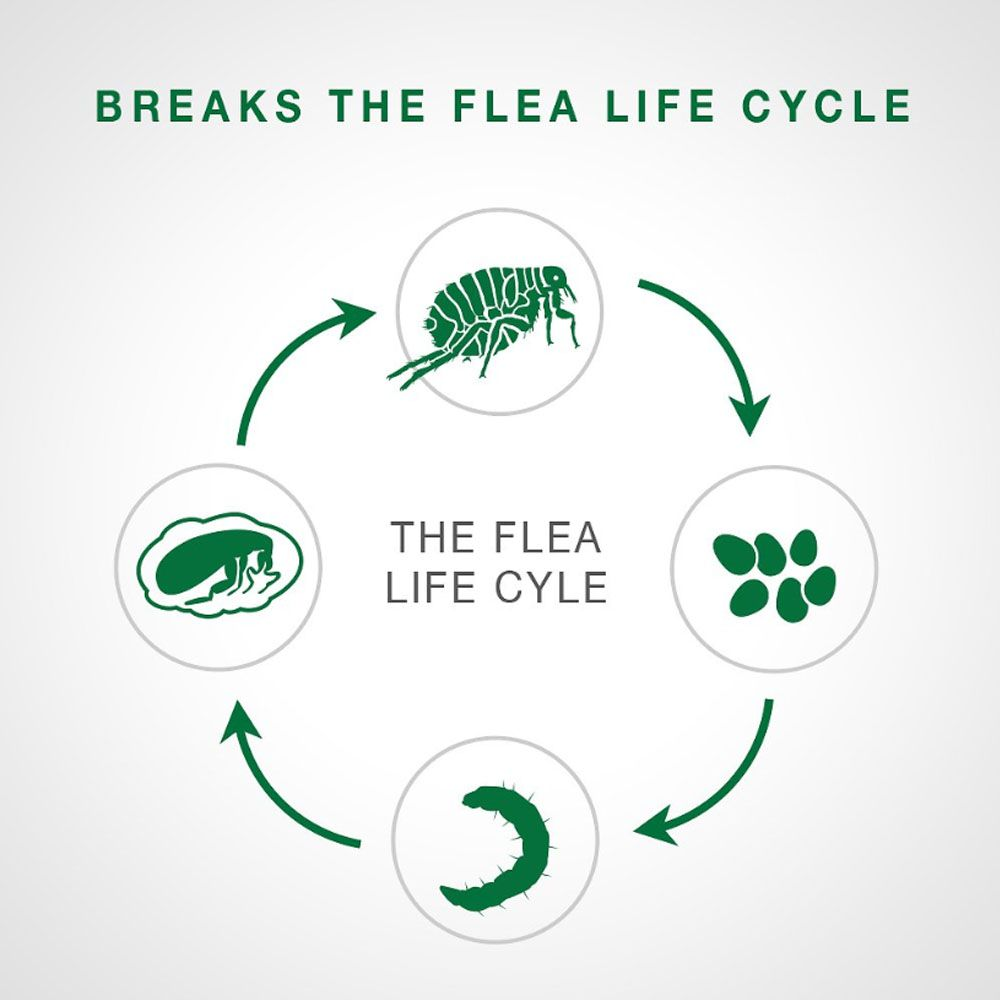 Life cycle a flea below a quote reading breaks the flea life cycle