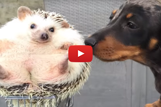 2 Dachshunds And A Hedgehog, Certainly A Sight To See!