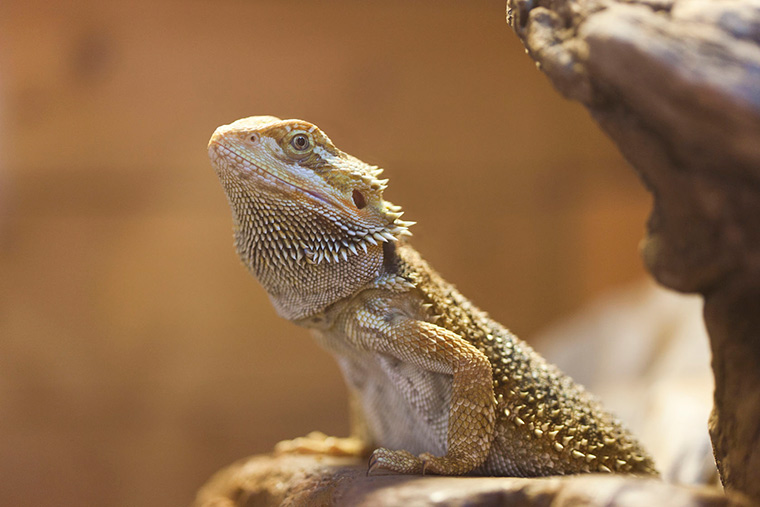 5 Tips To Help You Feed Your Bearded Dragon