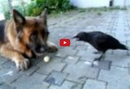 A German Shepherd and Crow Play Together- And It's Marvelous!!