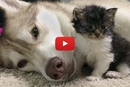 An Amazing Husky Becomes the Surrogate Mother to a Tiny Foster Kitten