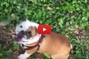 At First This Looked Like An Accident, But We Are Pretty Sure This Bulldog Is Simply Having Fun!