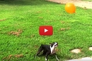 Boston Terrier Won't Let this Balloon Touch the Ground!