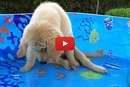 Brady, The Golden Retriever Puppy, Can't Catch A Fish!